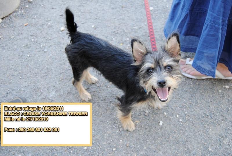 BLACO Croisé Yorkshire Terrier 250269801632061 en CA Blaco10