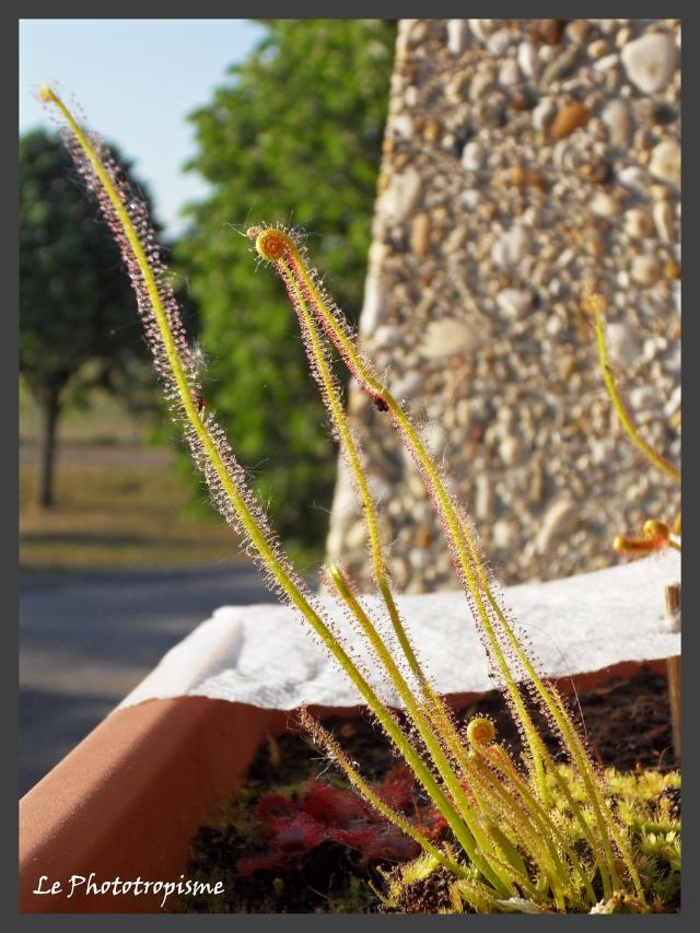 L'anatomie racinaire des plantes, ex de drosera Hamiltonnii. Sdc14029