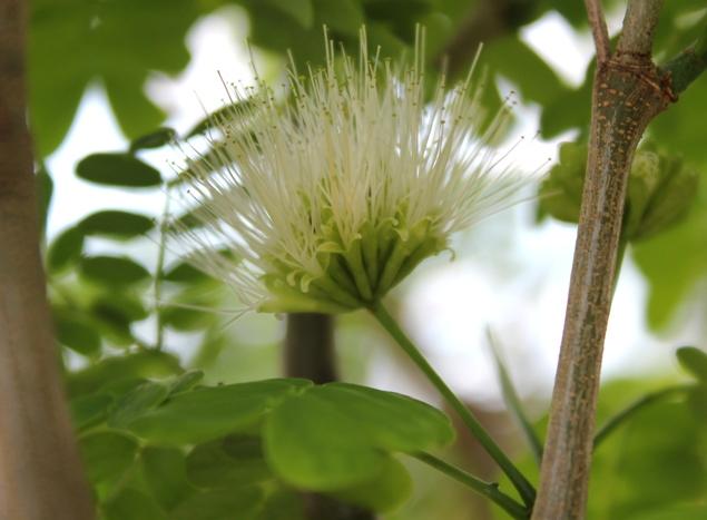 Brazilian Raintree flower Raintr10