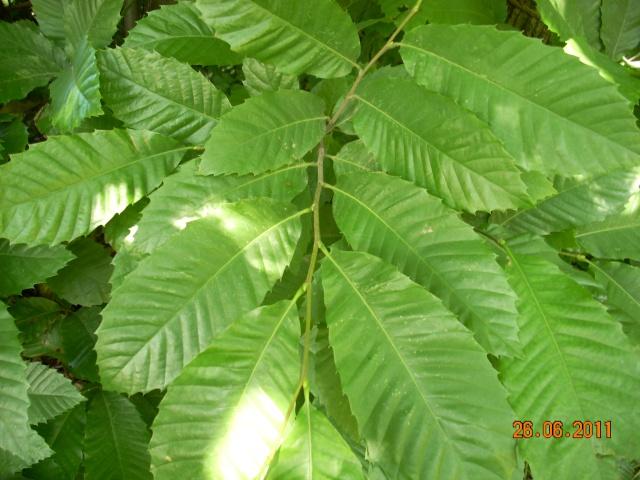 identification d'un arbre  : châtaignier ? 20110628