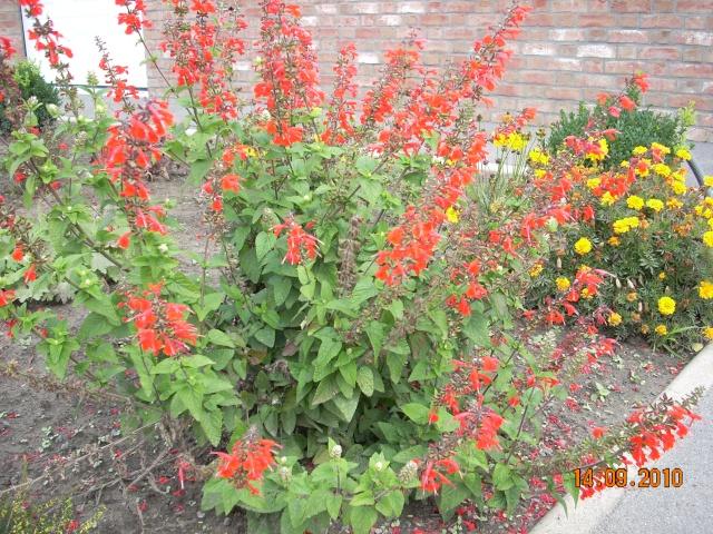 Sauge arbustive Fleur_11