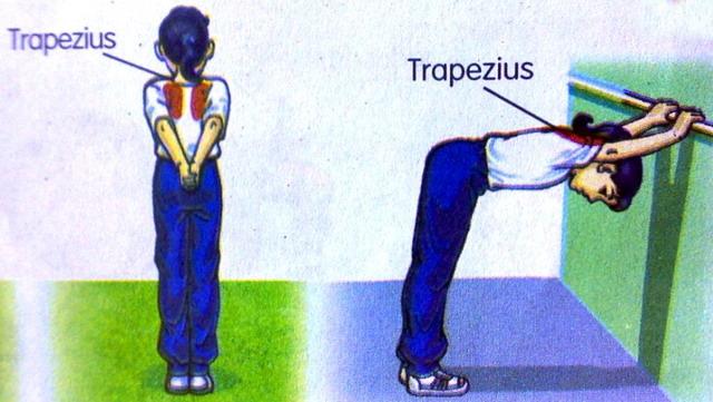 Otot utama di badan 2010-023