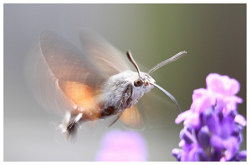 le papillon colibri ou moro-sphinx Sphinx10