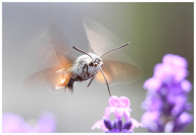 le papillon colibri ou moro-sphinx Sphinx11
