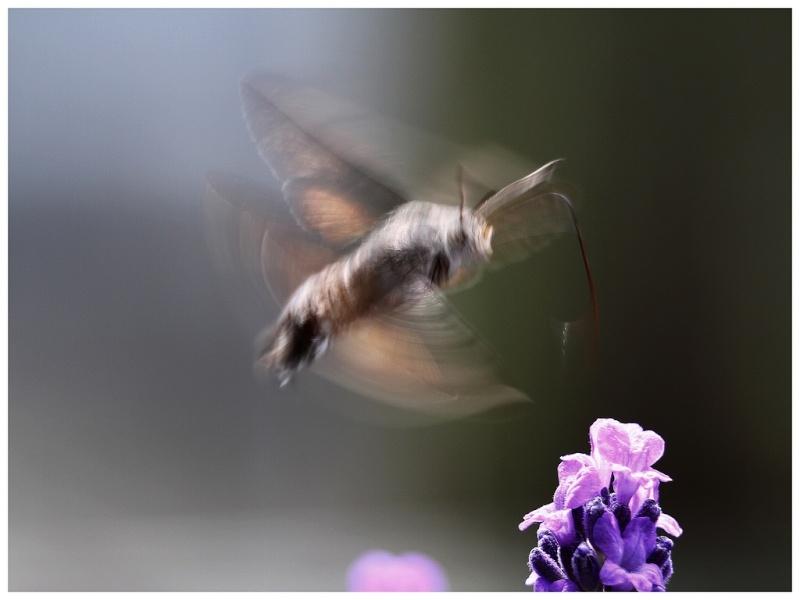 le papillon colibri ou moro-sphinx Sphinx12