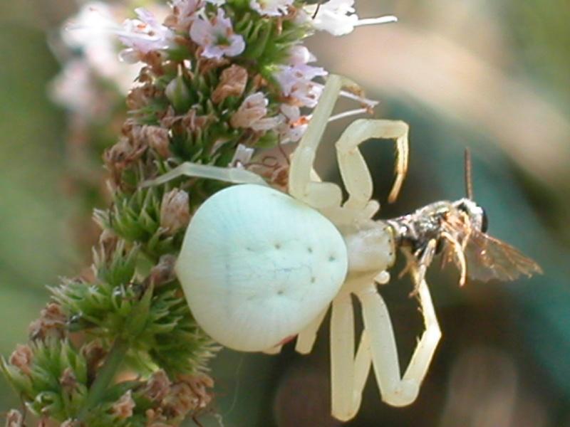 beurkkkkkkkkk argiope frelon (Argiope bruennichi) 01310