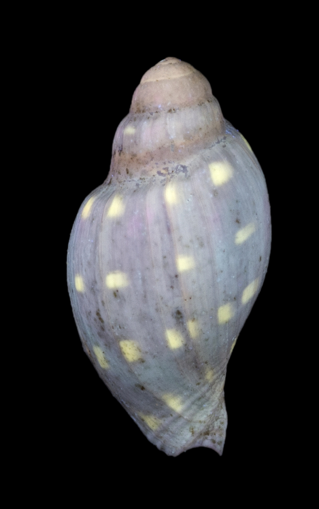 Volutidae - † Athleta (Volutospina) spinosa (Harzhauser, 2009) - (Bassin parisien / Fleury la Rivière 51) 02_tif10