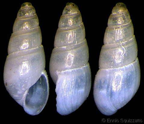 Auristomia erjaveciana Odosto10