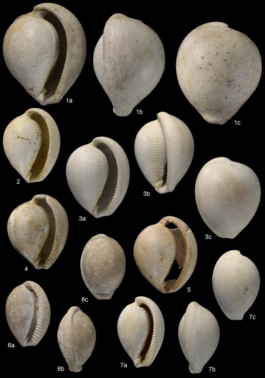 Ovulidae - † Sphaerocypraea.... 2 espèces nouvelles  Planch13