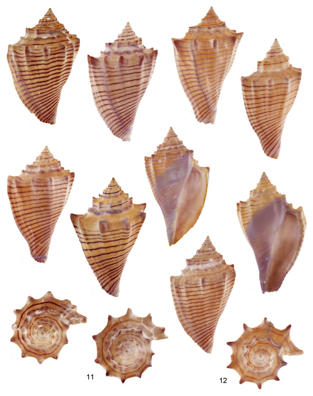 Volutidae - † Athleta (Volutospina) spinosa (Harzhauser, 2009) - (Bassin parisien / Fleury la Rivière 51) Planch16