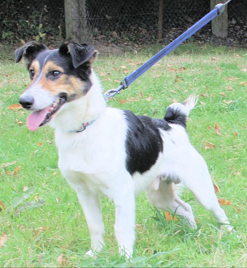 NESQUICK, Croisé Fox-Terrier de 1,5 ans - Romagné (35) Nesqui10