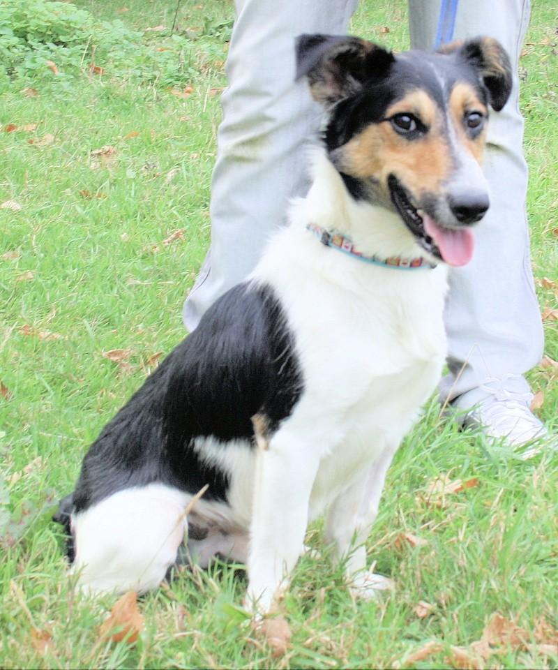 NESQUICK, Croisé Fox-Terrier de 1,5 ans - Romagné (35) Nesqui11