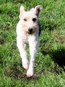 VINI, type Fox-Terrier de 6 ans - Romagné (35) Vini-a10