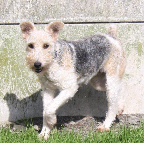 VINI, type Fox-Terrier de 6 ans - Romagné (35) Vini_210