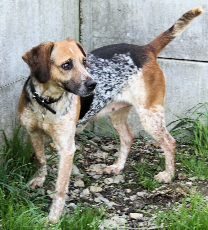 ZINA, croisée beagle de 4-5 ans - Romagné (35) Zina_310