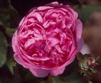 commande de rosier pour le printemps 2011 06sid110