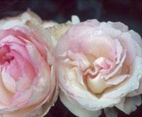 commande de rosier pour le printemps 2011 07edr110