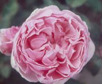 commande de rosier pour le printemps 2011 08brc110
