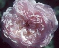 commande de rosier pour le printemps 2011 08egl110