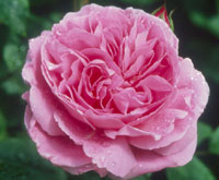 commande de rosier pour le printemps 2011 08mar110