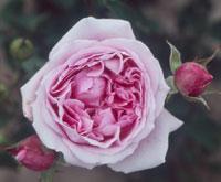 commande de rosier pour le printemps 2011 08prj110