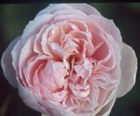 commande de rosier pour le printemps 2011 08stc110