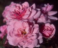 commande de rosier pour le printemps 2011 09bon110