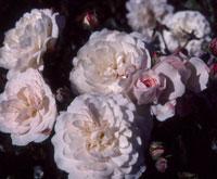 commande de rosier pour le printemps 2011 09sef110