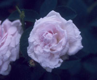 commande de rosier pour le printemps 2011 11chl110