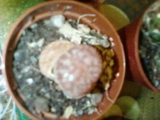 Quelle est cette plante-cailloux? Cactus10