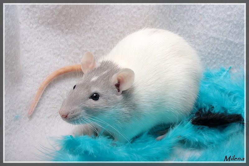 """Encore des rats """"spéciaux"""" à identifier! Img_5910"""
