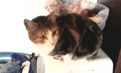 les photos de nos chats a l'adoption  Photo011