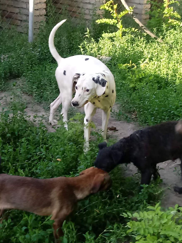 EDDI, M–X Dalmatien, né 2012, 28 KG, Aveugle (SERBIE/Pension GORDANA) / PRET A VOYAGER MI-FEVRIER 35062710