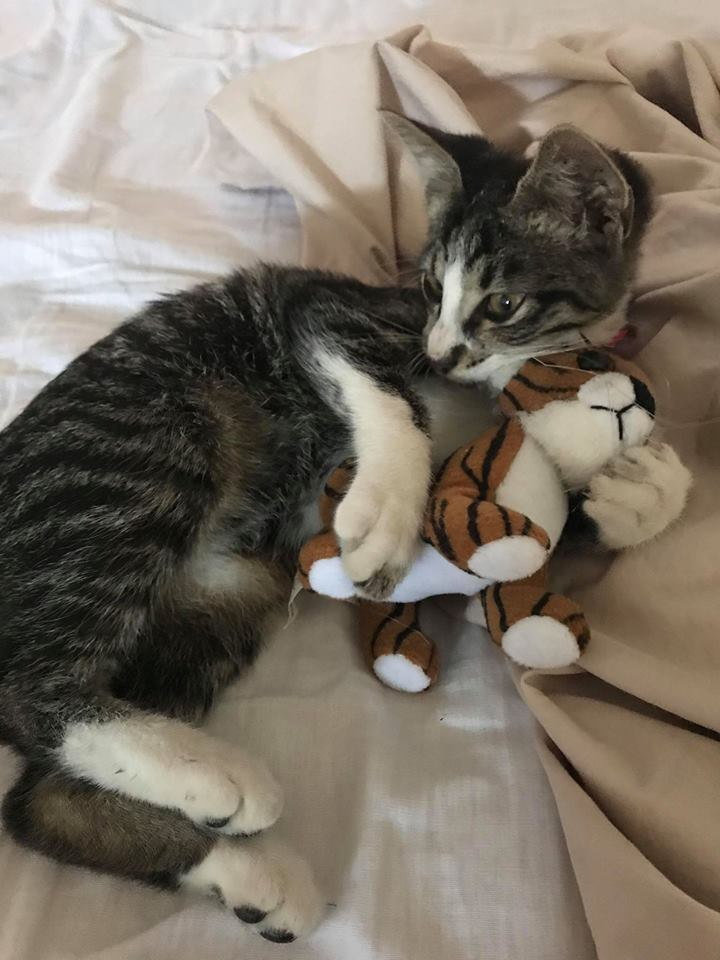 TIGRUT, Chaton , tigré et blanc , M - X , née mars 2018 (ORASTIE) ADORABLE -Résa Ferme des rescapés 40946710