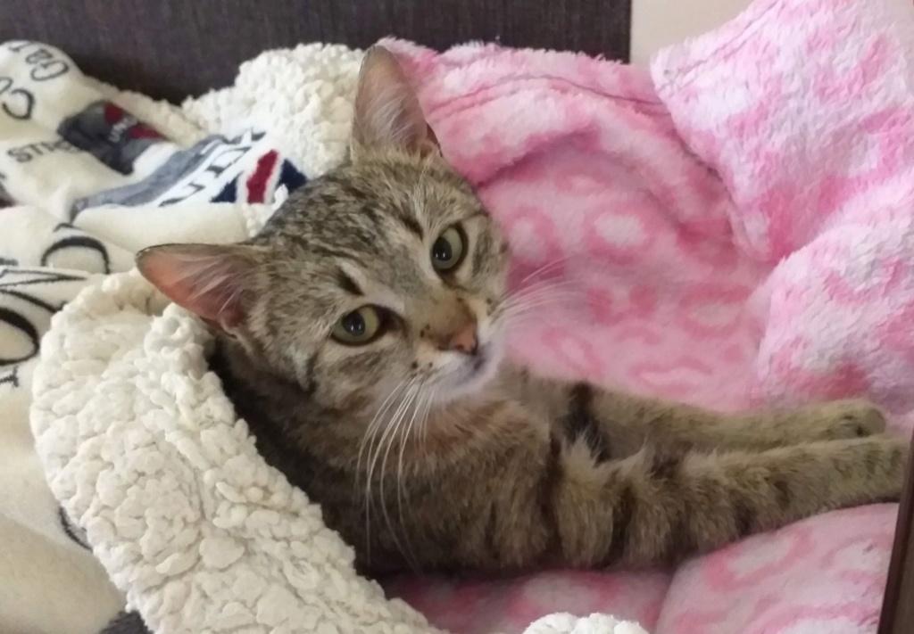 SARA, chatte, tigrée, née 2016 (ORASTIE) Prise en charge SPA de Pontarlier 60650311