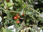 PNW Harvest Cherry11