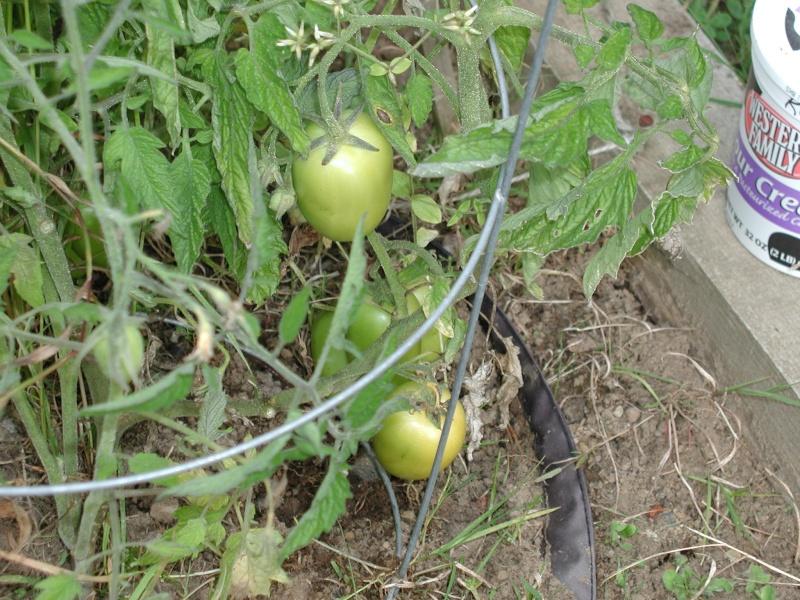 PNW Harvest Plum_t10