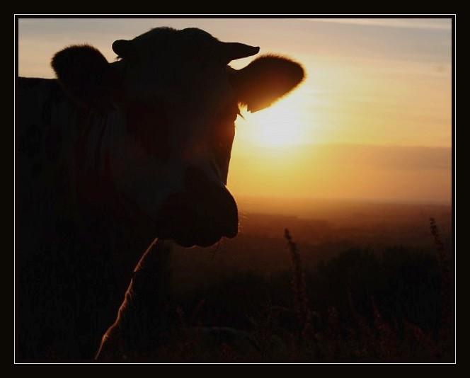 Ombre vache 10100710
