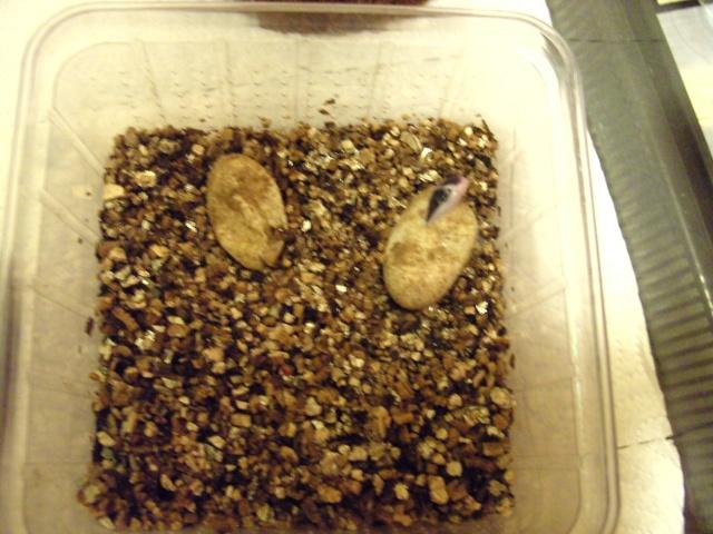 Schlupf eines Leopardgeckos (Eublepharis macularius) Bild0324