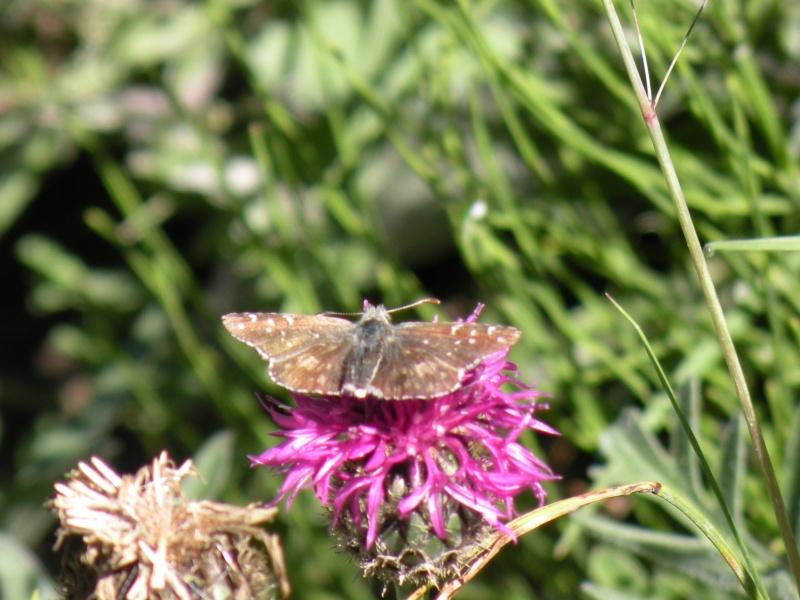Papillons et abeilles Dscn1814