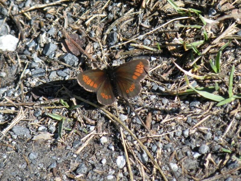 Papillons et abeilles Dscn1815