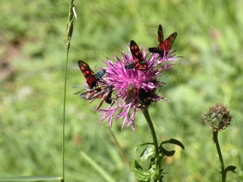 Papillons et abeilles Dscn1816