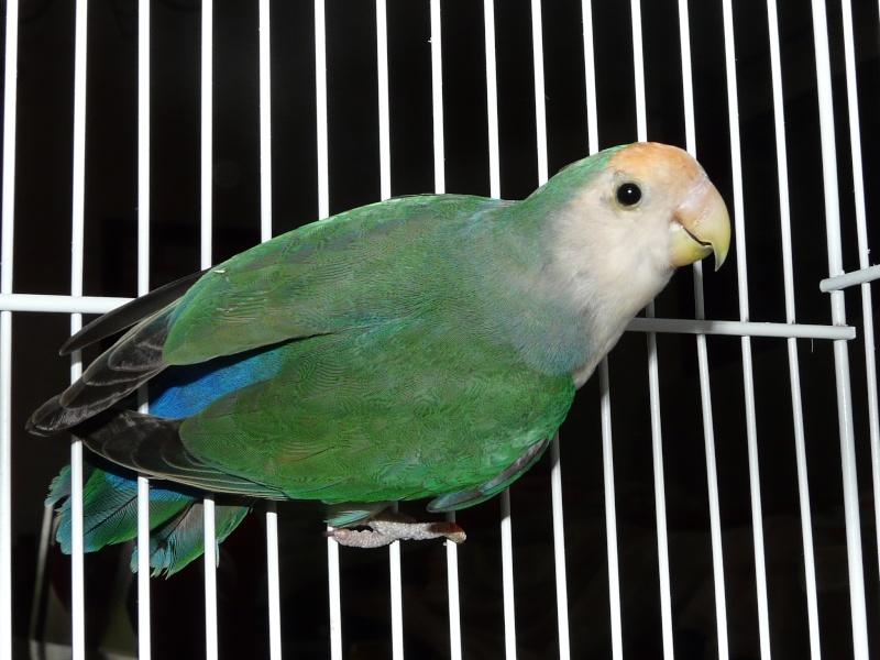 Mon oiseau est-il une perruche ? P1000311