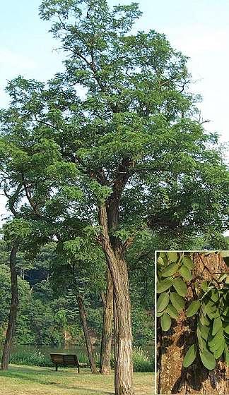 acacia (robinia)
