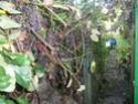 Sur 2000m2 - Le fabuleux jardin des Fraternités Ouvrières, ou comment cultiver une petite jungle? Imgp1512
