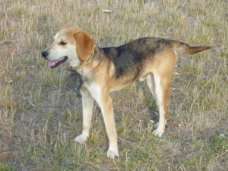 EURO, beagle mâle, environ 2 ans (79) Euro_a10