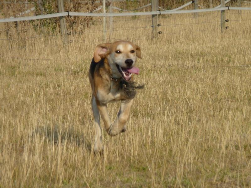 EURO, beagle mâle, environ 2 ans (79) Euro_a11