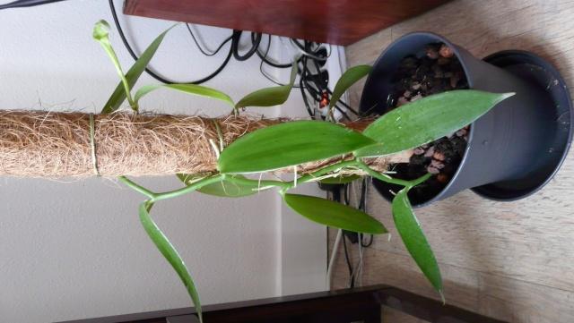 Vanille planifolia : espace lumineux ou humide ? P1050810
