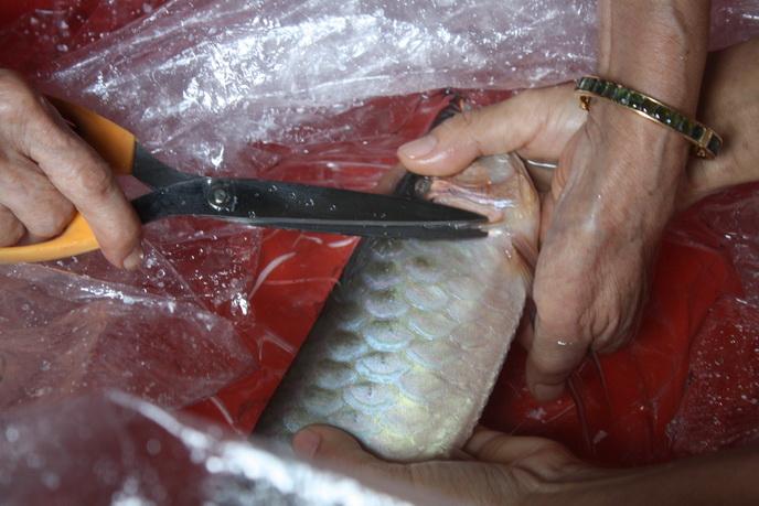 ตัดเหงือกปลามังกร Aaa15