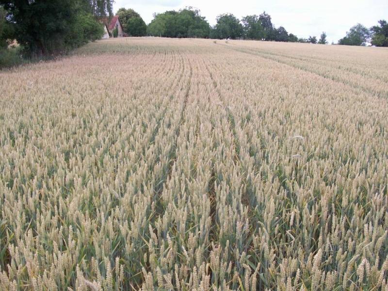 aperçu des blés en 24 - Page 2 100_1219